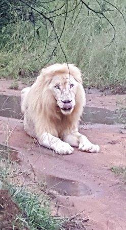 Waterberg, Sydafrika: Timbivati White Lion Male