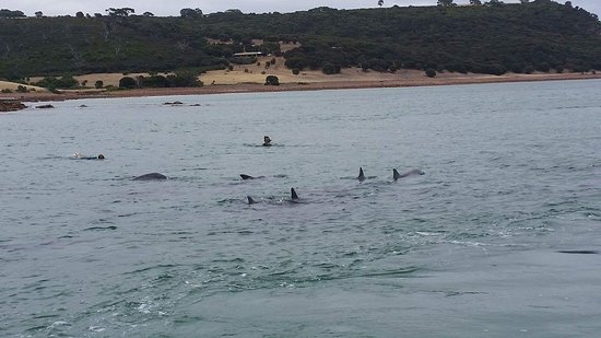 Kingscote, Australië: Surrounded by Dolphins!!