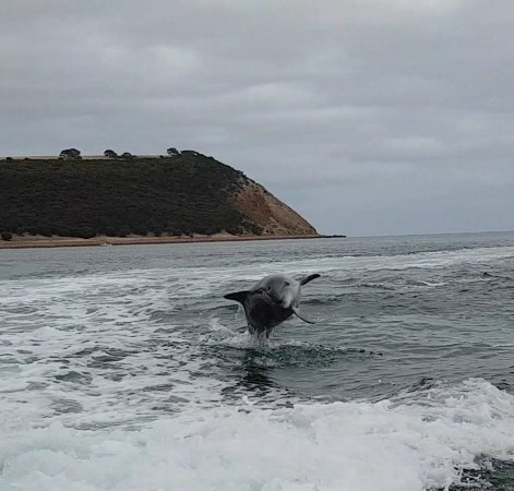 Kingscote, Australië: Dolphin playing in the wake from our boat
