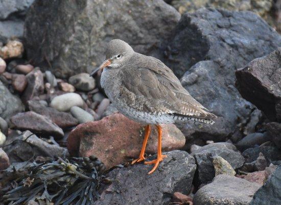 North Berwick, UK: a coy Redshank