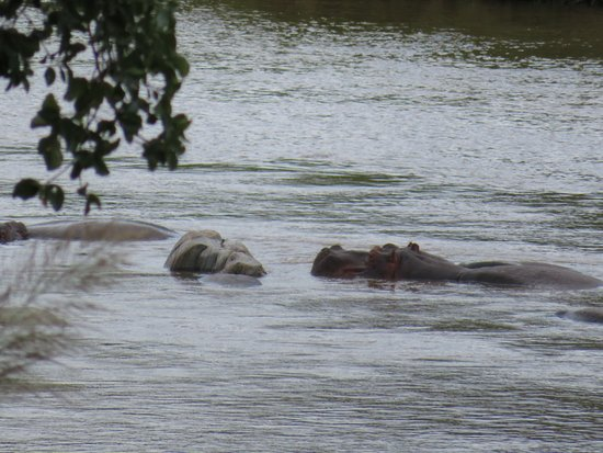 Pondoro Game Lodge: Hippos in river below the bar/dining area