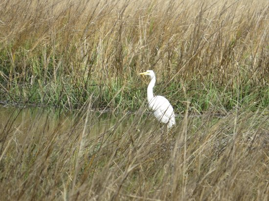 Mount Pleasant, Carolina del Sur: Great Egret