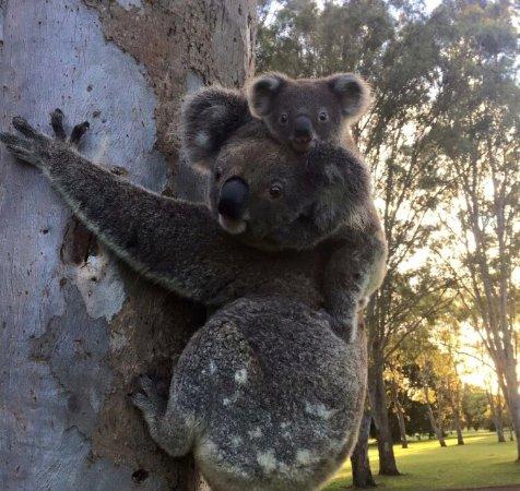 Tallebudgera, Australia: Best place to see wild koalas !!
