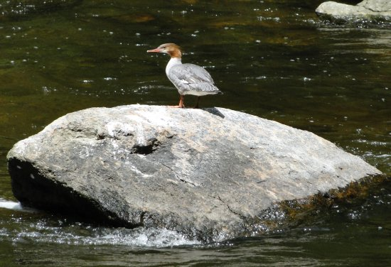 Washington Depot, CT: Grebe in Shepaug River