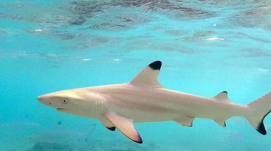 Raa Atoll: reef shark