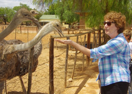 Highgate Ostrich Show Farm: Feeding ostriches