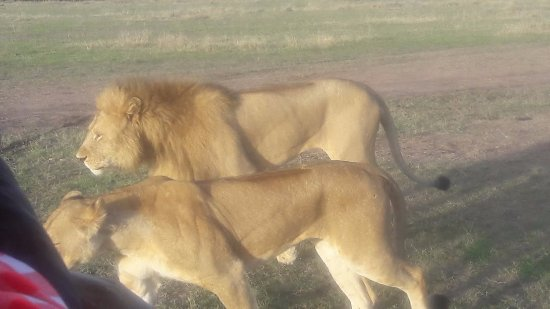 Fairmont Mara Safari Club: Safari