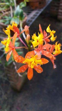 Lajeado, RS: Orquídea