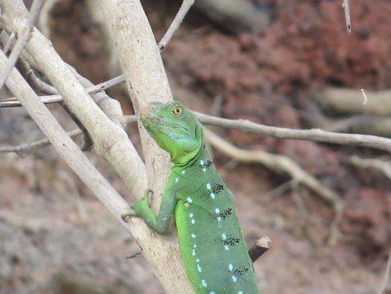 Canoa Aventura: lizard