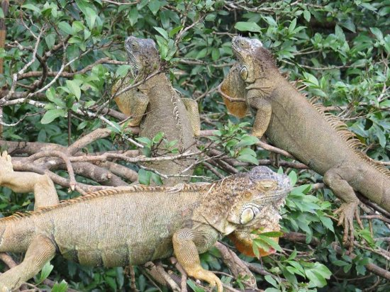 Canoa Aventura: Iguana