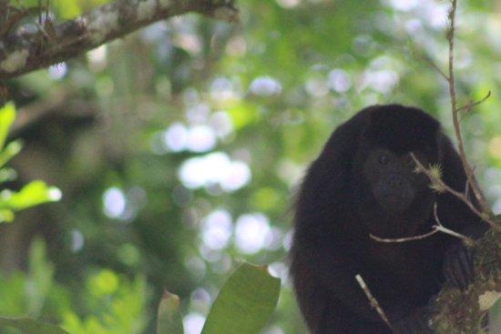Tilaran, Costa Rica: Monkeys outside restaurants view