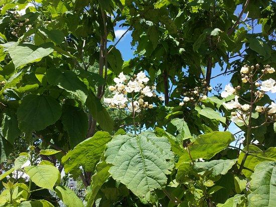 Western Colorado Botanical Gardens: Flowering tree