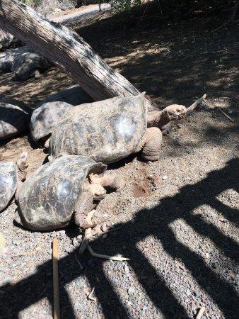 Puerto Villamil, Ecuador: More tortoises