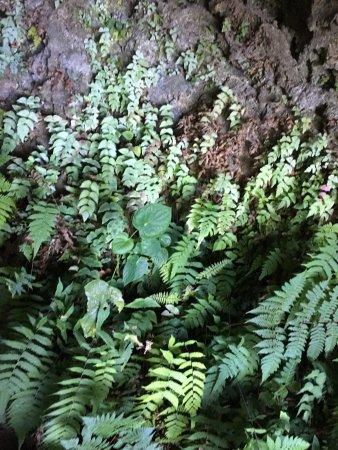 Пуерто-Вильямиль, Эквадор: ferns