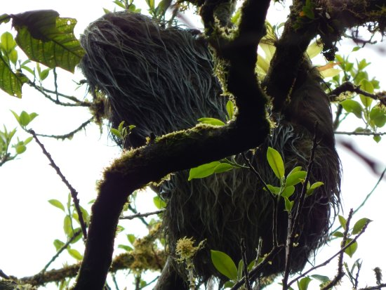 Granada, Nicaragua: Sloth (with baby, not visible) on Mombacho walk.