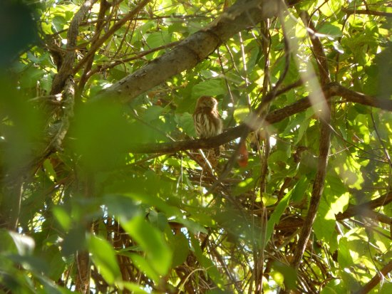 Tierra Day Tours:  Granada: Tiny owl called in by guide on caldera tour.