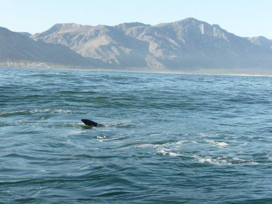 เฮอร์มานัส, แอฟริกาใต้: balene