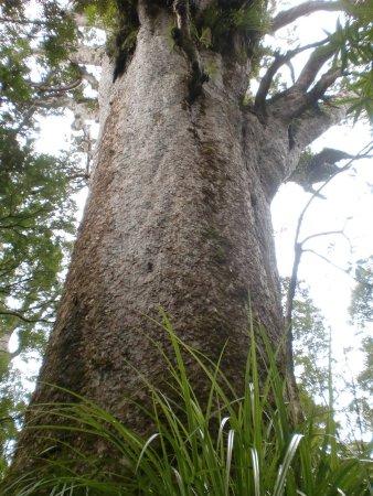 Dargaville, نيوزيلندا: ein wahrhafter Riese dieser Kauribaum