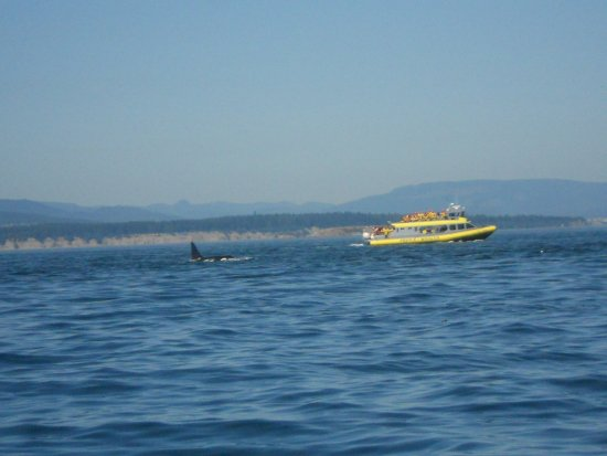 SpringTide Whale Watching & Charters: Orca and raft
