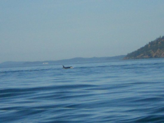 SpringTide Whale Watching & Charters: Killer whale