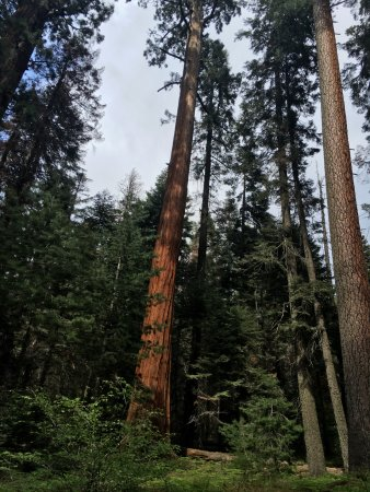Three Rivers, CA: Sky scrapping redwoods.