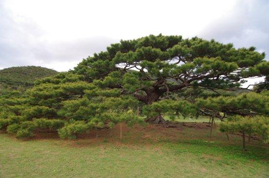Iheya-son, Япония: 巨大な松です。カメラに全てを収めることができませんでした