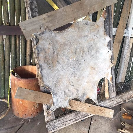 Seine Bight Village, Belize: Drum skin drying
