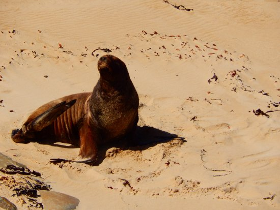 ‪‪Invercargill‬, نيوزيلندا: Sea lion basking on the sands.‬