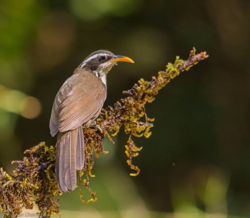 Indian Scimitar Babbler at studio