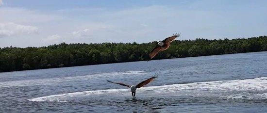 Пантай-Сенанг, Малайзия: Eagle catching Fish