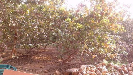 Guava Orchard Images