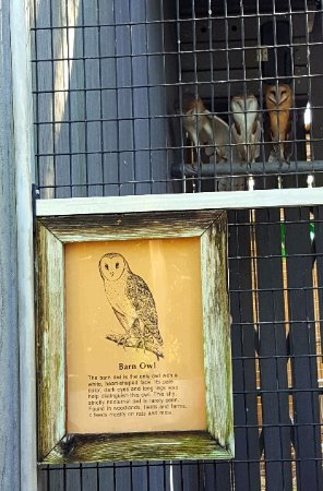 Jupiter, FL: Barn owls