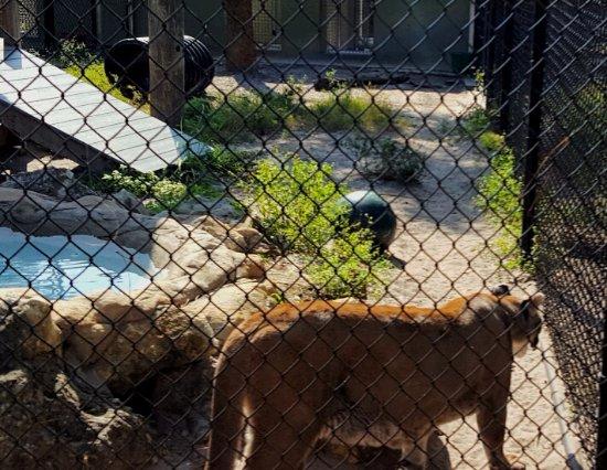 Jupiter, Φλόριντα: Florida panther
