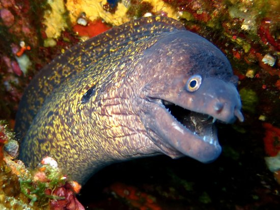 Murena moray eel picture of blu infinito diving center san teodoro tripadvisor - Dive center blu ...