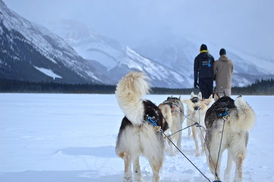 Snowy Owl Sled Dog Tours: Snowy Owl Dog Sled Tours