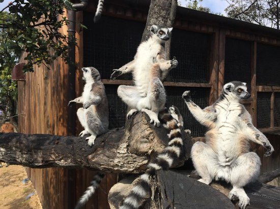 Kobe Animal Kingdom : The nicest of all: the Lemurs of Madagascar!