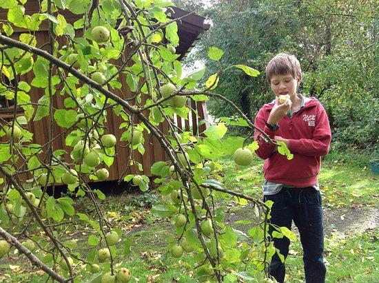 Winkleigh, UK: Autumn brings apples at Wheatland Farm Eco Lodges