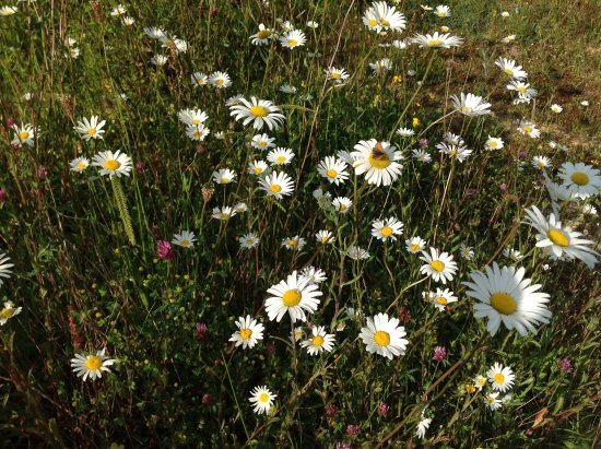 Winkleigh, UK: Oxeye daisies abound in summer at Wheatland Farm Eco Lodges