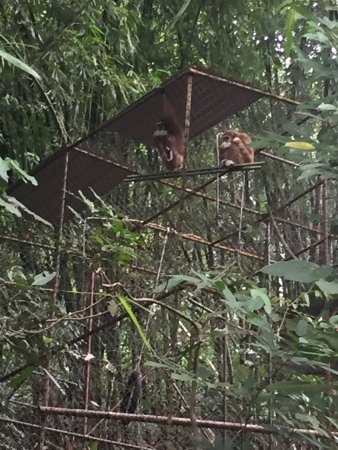 Gibbon Rehabilitation Project: photo1.jpg