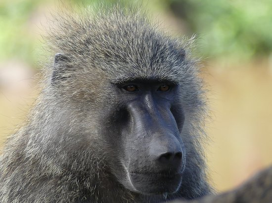 Lake Manyara National Park, Tanzania: babouin