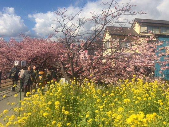 The yellow flowers called rape are very pretty too picture of kawazu zakura kawazucho the yellow flowers called rape are very pretty mightylinksfo