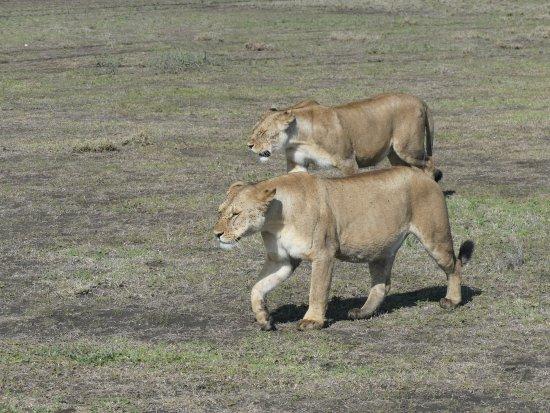Región de Arusha, Tanzania: lionnes enceintes