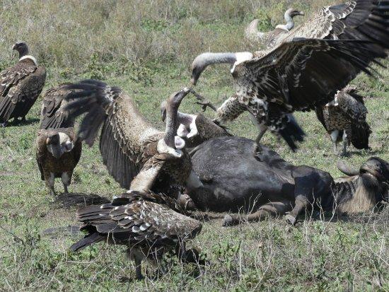 Región de Arusha, Tanzania: déjeuner des vautours