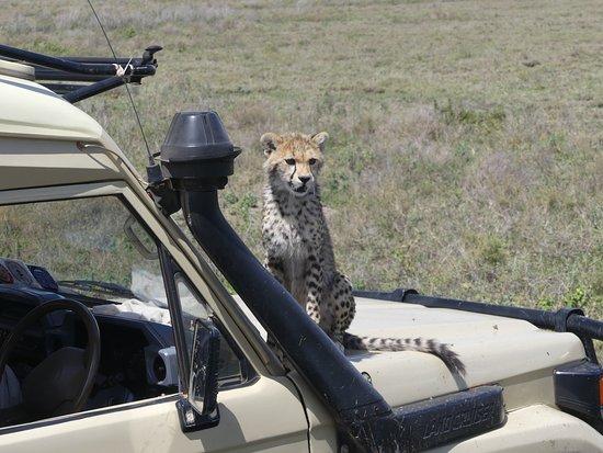 Región de Arusha, Tanzania: bébé guépard