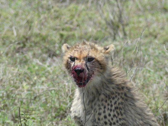 Región de Arusha, Tanzania: bébé guépard qui n'a plus faim