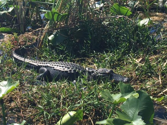 Saint Cloud, Flórida: Not the biggest alligator we saw but definitely the closest