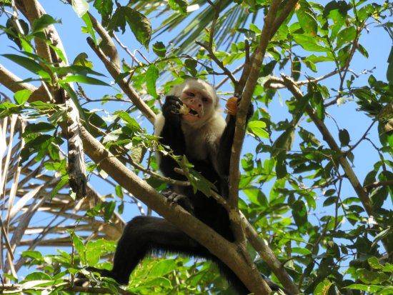 Gulf of Papagayo, Costa Rica: White faced monkey