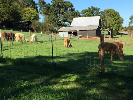 Wirtz, VA: Watching the alpacas grazing in the field in the sunshine!