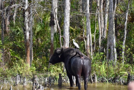 Clewiston, FL: Water buffalo.