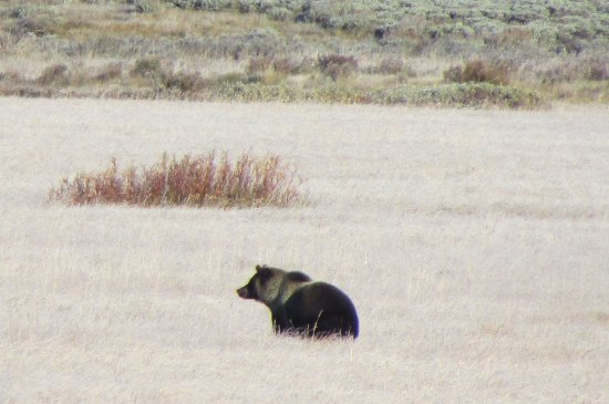 Gardiner, MT: Grizzly bear in Yellowstone